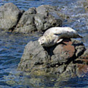 Baby Sea Lion On Rock At San Juan Island Poster