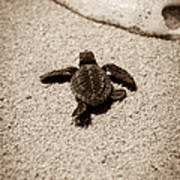 Baby Sea Turtle Poster