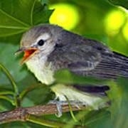 Baby Sparrow In The Maple Tree Poster by Karon Melillo DeVega