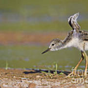 Baby Stilt Stretching Its Wings Poster