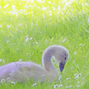 Baby Swans Enjoy A Summer Day Poster