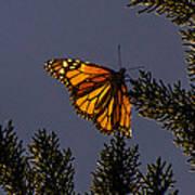 Back Lit Monarch Poster
