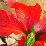 Back Of A Red Hibiscus Flower Against Stone Poster