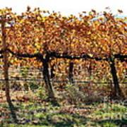 Backlit Autumn Vineyard Poster