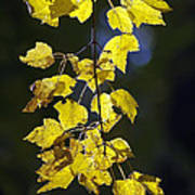 Backlit Leaves Of Autumn Poster