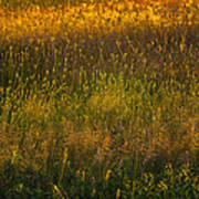 Backlit Meadow Grasses Poster