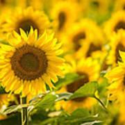 Backlit Sunflower Poster