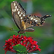 Backlit Swallowtail Poster