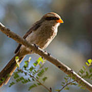 Backlit Yellow Billed Shrike Poster
