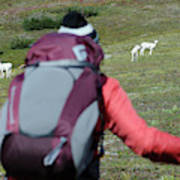 Backpacker Watches Dall Sheep Poster