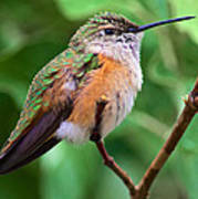 Backyard Broad Tailed Hummingbird Poster