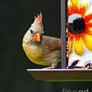 Backyard Female Cardinal Poster