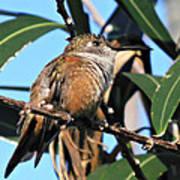 Bahama Woodstar Hummingbird Poster