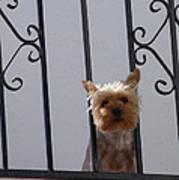 Balcony Dog Poster