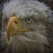 Bald Eagle 26 Poster
