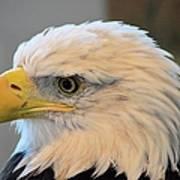 Bald Eagle 7615 Poster