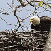 Bald Eagle And Eaglet Poster