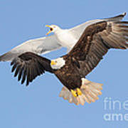 Bald Eagle And Greater Black-backed Gull Poster