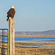 Bald Eagle At Lower Klamath National Wildlife Refuge Poster