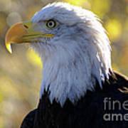 Bald Eagle Beauty Poster