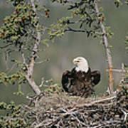 Bald Eagle Calling On Nest Alaska Poster