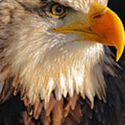 Bald Eagle Close-up Poster