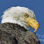 Bald Eagle Closeup Poster