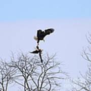 Bald Eagle Courtship Ritual  1338 Poster