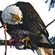 Bald Eagle Eating It's Prey Poster