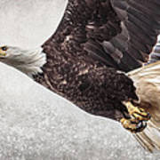 Bald Eagle Fly By Poster