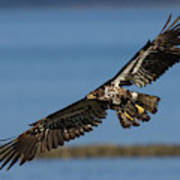 Bald Eagle In Flight, Immature Poster