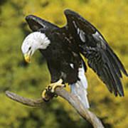 Bald Eagle In Perch Wildlife Rescue Poster
