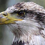 Bald Eagle - Juvenile - Profile Poster