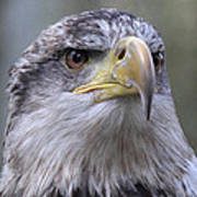 Bald Eagle - Juvenile Poster