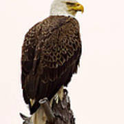 Bald Eagle On A Snag Poster