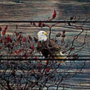 Bald Eagle On Barnwood Poster