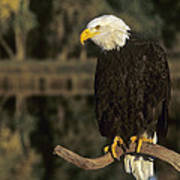 Bald Eagle On Dead Snag Wildlife Rescue Poster
