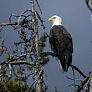 Bald Eagle On Watch Poster