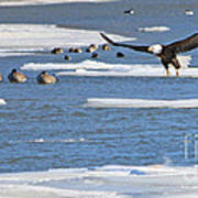 Bald Eagle Over Maumee River 2456 Poster