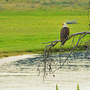 Bald Eagle Overlooking Yellowstone River Poster