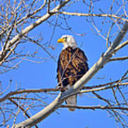 Bald Eagle Perched Poster