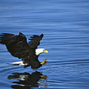 Bald Eagle Striking Kenai Peninsula Poster