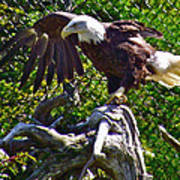 Bald Eagle With A Broken Wing In Salmonier Nature Park-nl Poster
