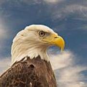 Bald Eagle With Piercing Eyes 1 Poster
