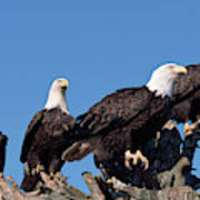 Bald Eagles Quartet Poster