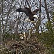 Bald Eagles At Nest Poster