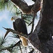 Bald Eagles Eye View Poster