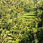 Bali Sayan Rice Terraces Poster