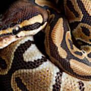Ball Python Python Regius Poster