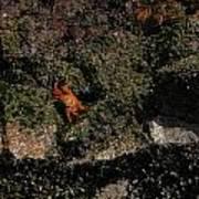 Ballestas Orange Crab 2 Poster